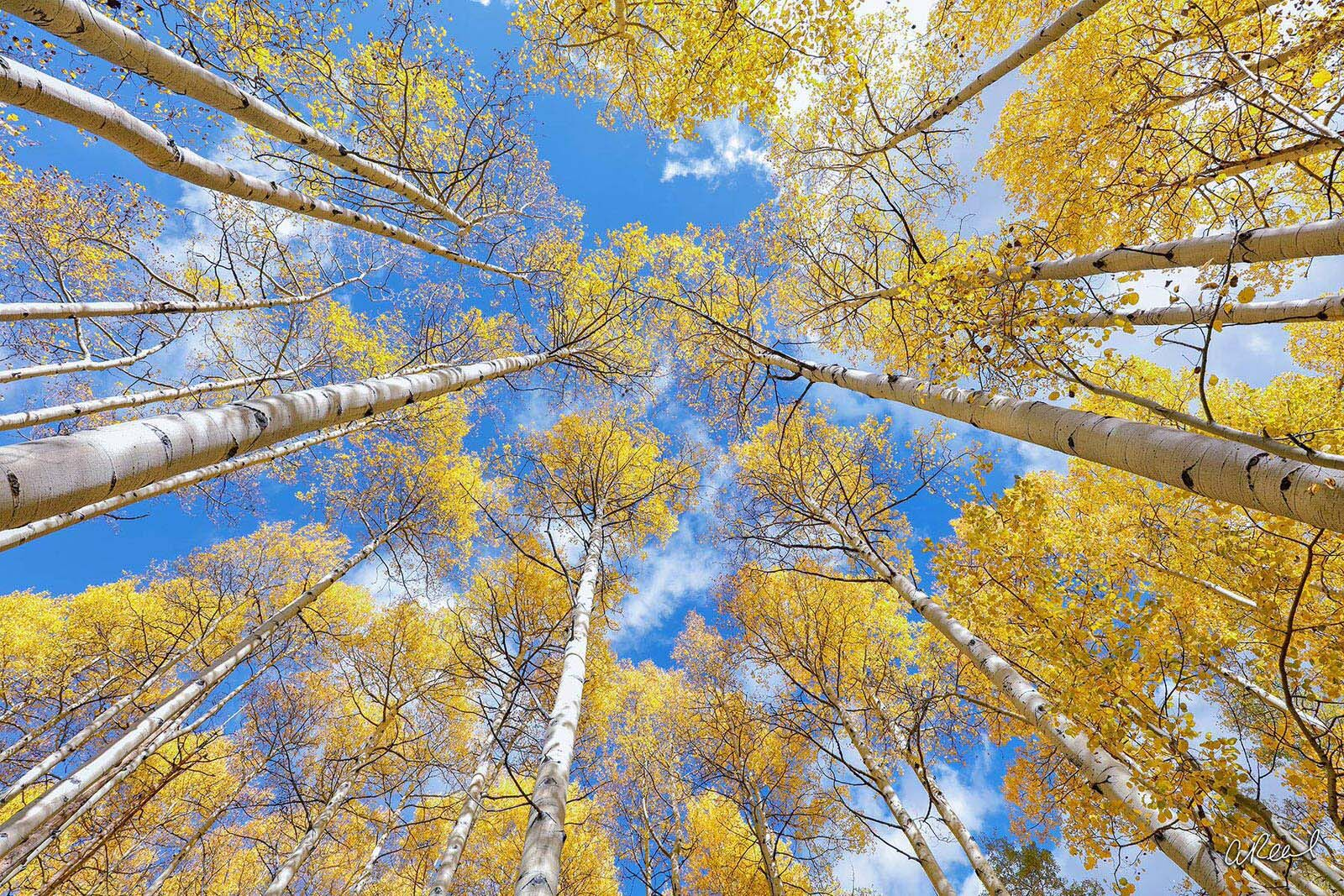 Aspen, Tree, Colorado, Fine Art, Limited Edition, Leaves, trunk, wind, branches, snow, photo