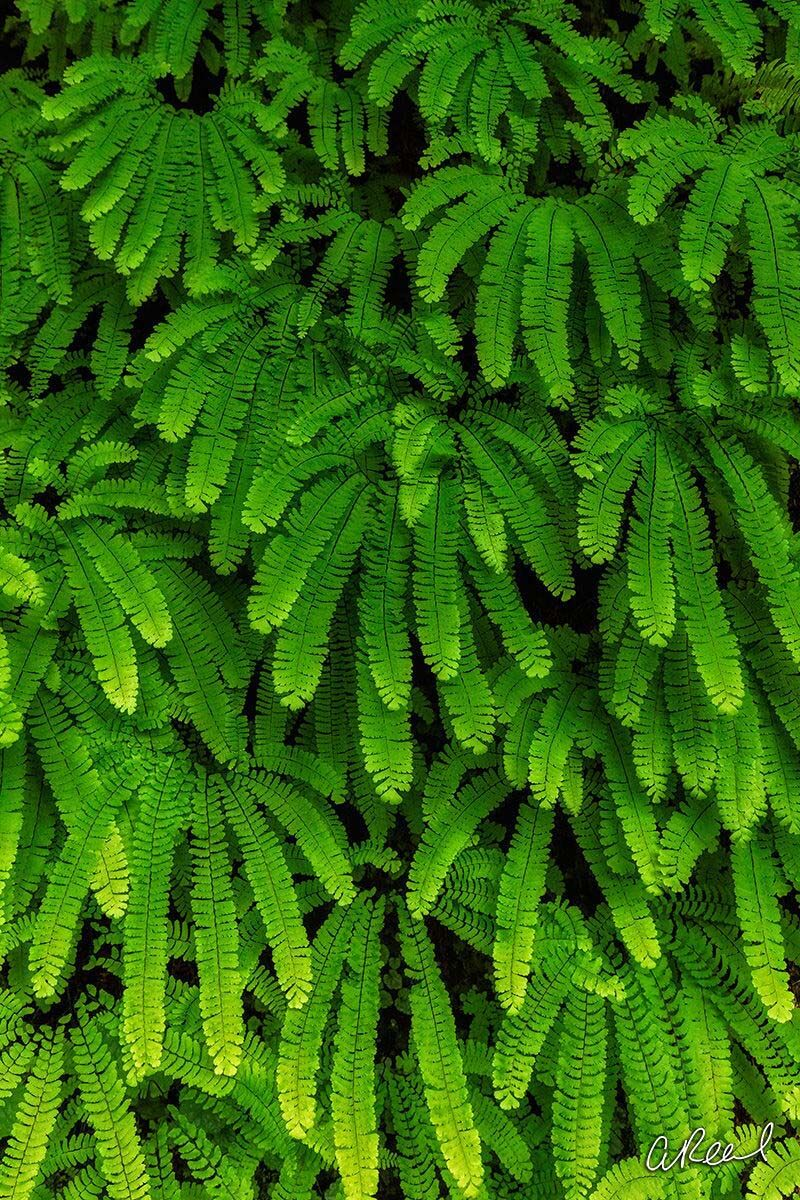 Fern, Art, Abstract, Fine Art, Limited Edition, Wachella, Falls, Oregon, , photo
