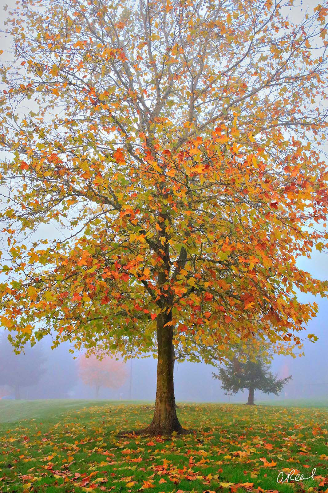 A single tree with yellow leaves in a park on a foggy morning.