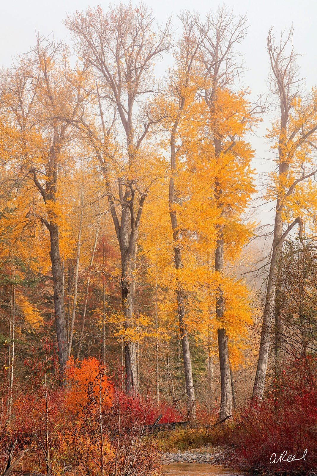A vertical photograph of tall trees covered in yellow leaves during autumn.