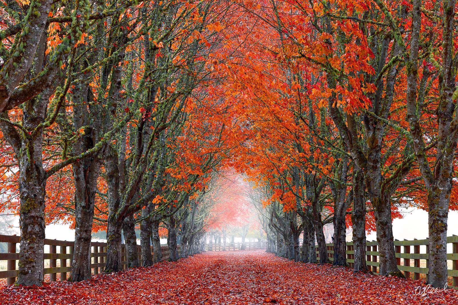 A photograph of a tree tunnel during autumn with red leaves on a foggy morning.