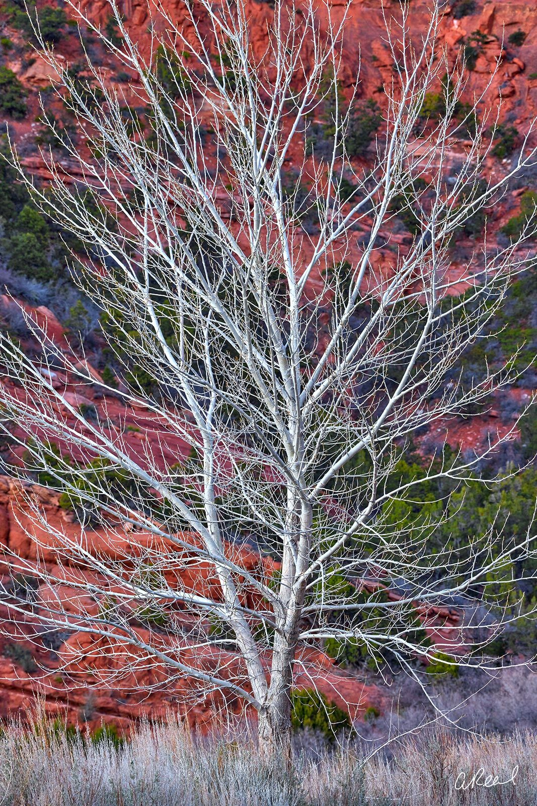 A lone white tree on a hill with red rock and green trees behind it.