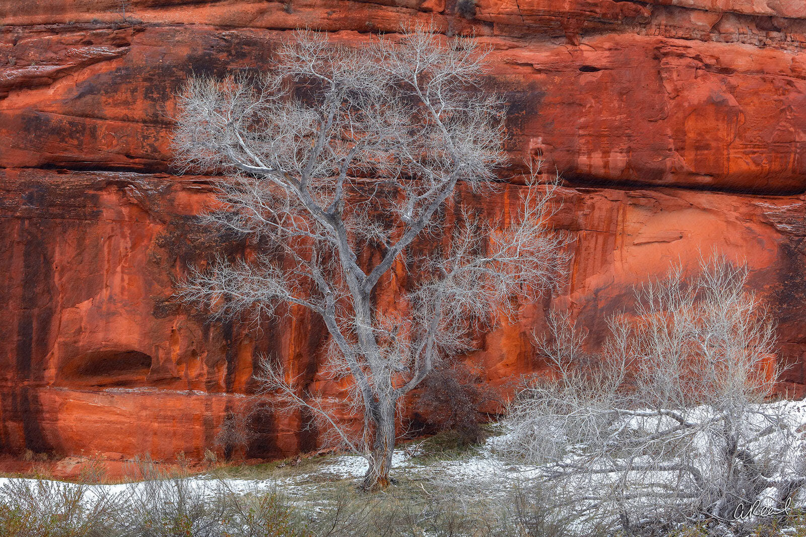 A photograph of a lone cottonwood tree in winter against a red canyon wall.