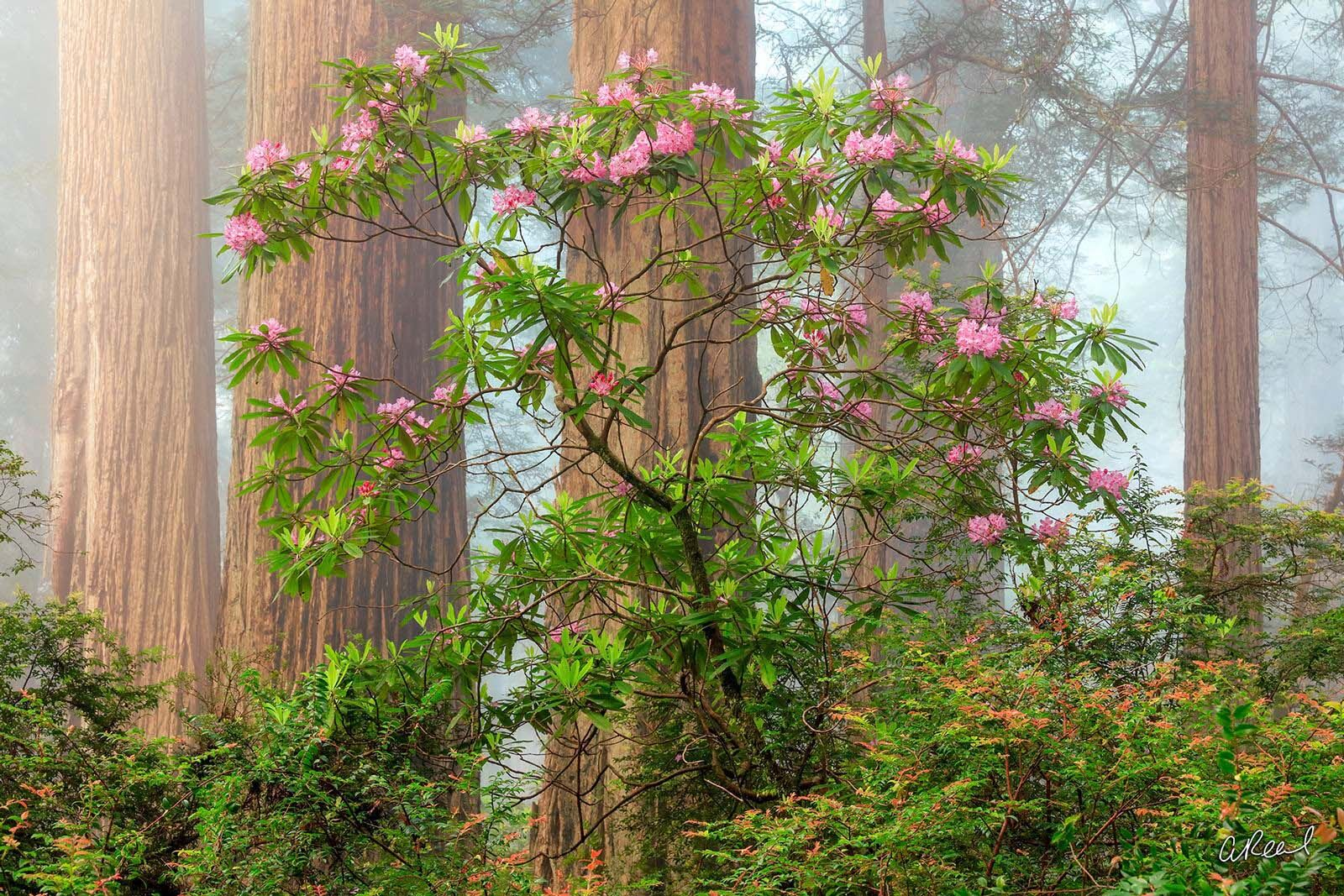 A grove of redwood trees in the fog and flowers inside Damnation Creek in California.