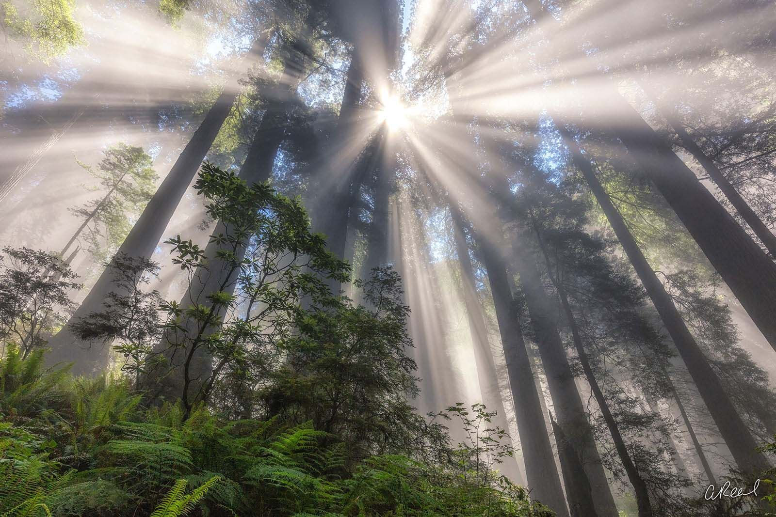 A photograph of tall redwood trees covered in fog with sunlight poking through above them.