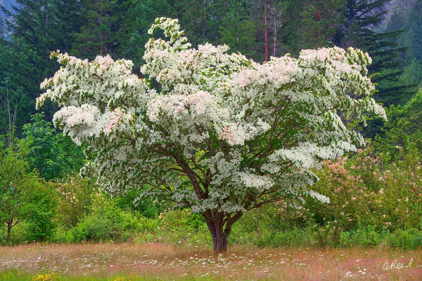 A photograph of a single dogwood tree with white and pink flower medals in a field.