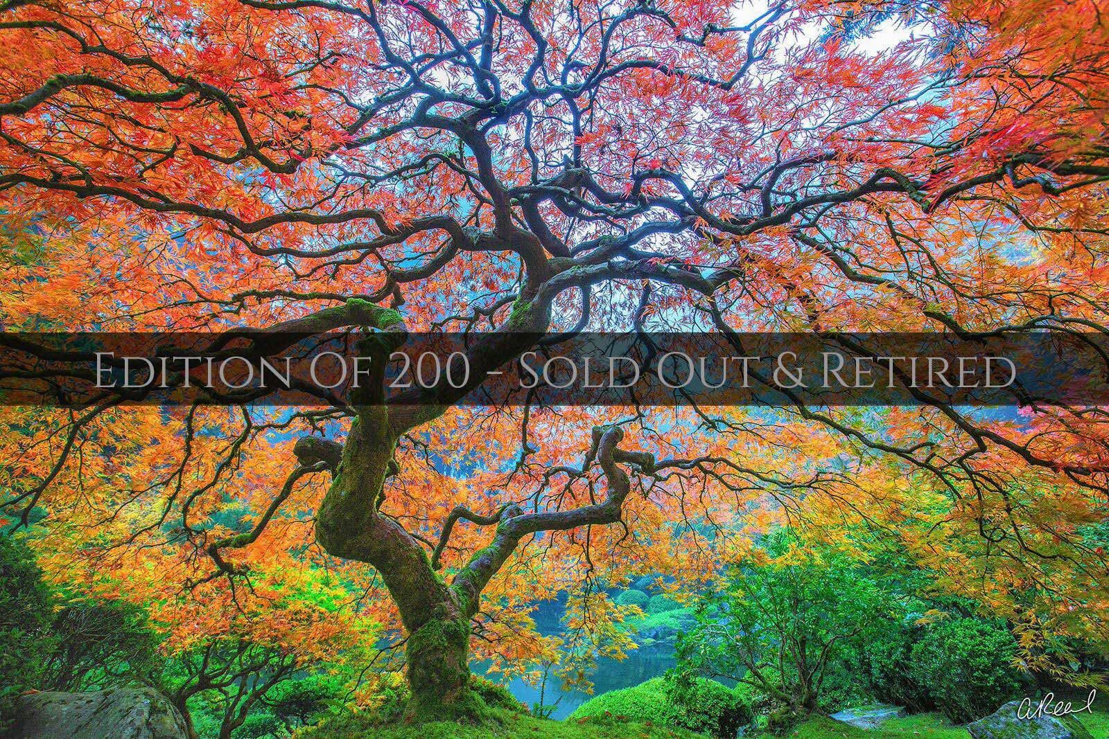 A photograph of a Japanese maple tree with rainbow colored leaves on a foggy morning in a Japanese Garden.