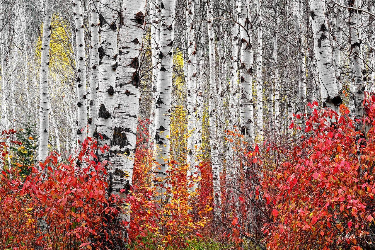 Thick forest of aspen trees without leaves during fall with red foliage at the base.