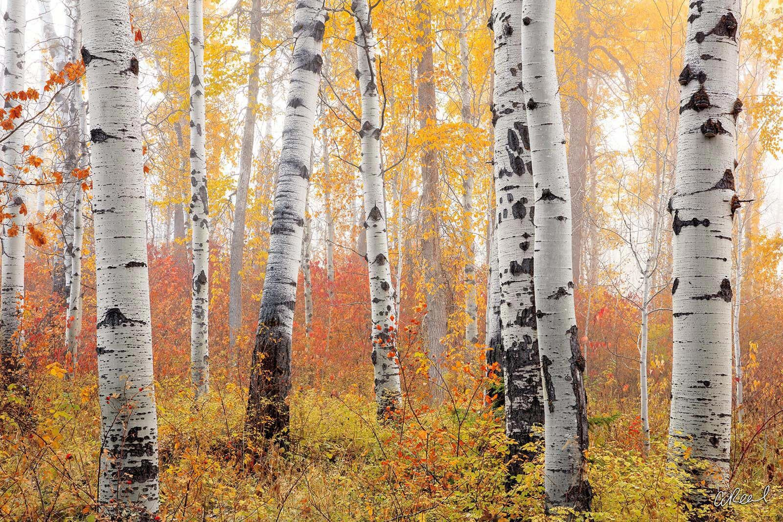 Firesticks | Sparsely Spaced Aspen Trees on a Foggy Morning With Yellow Leaves | Fine Art Photography for Sale by Aaron Reed