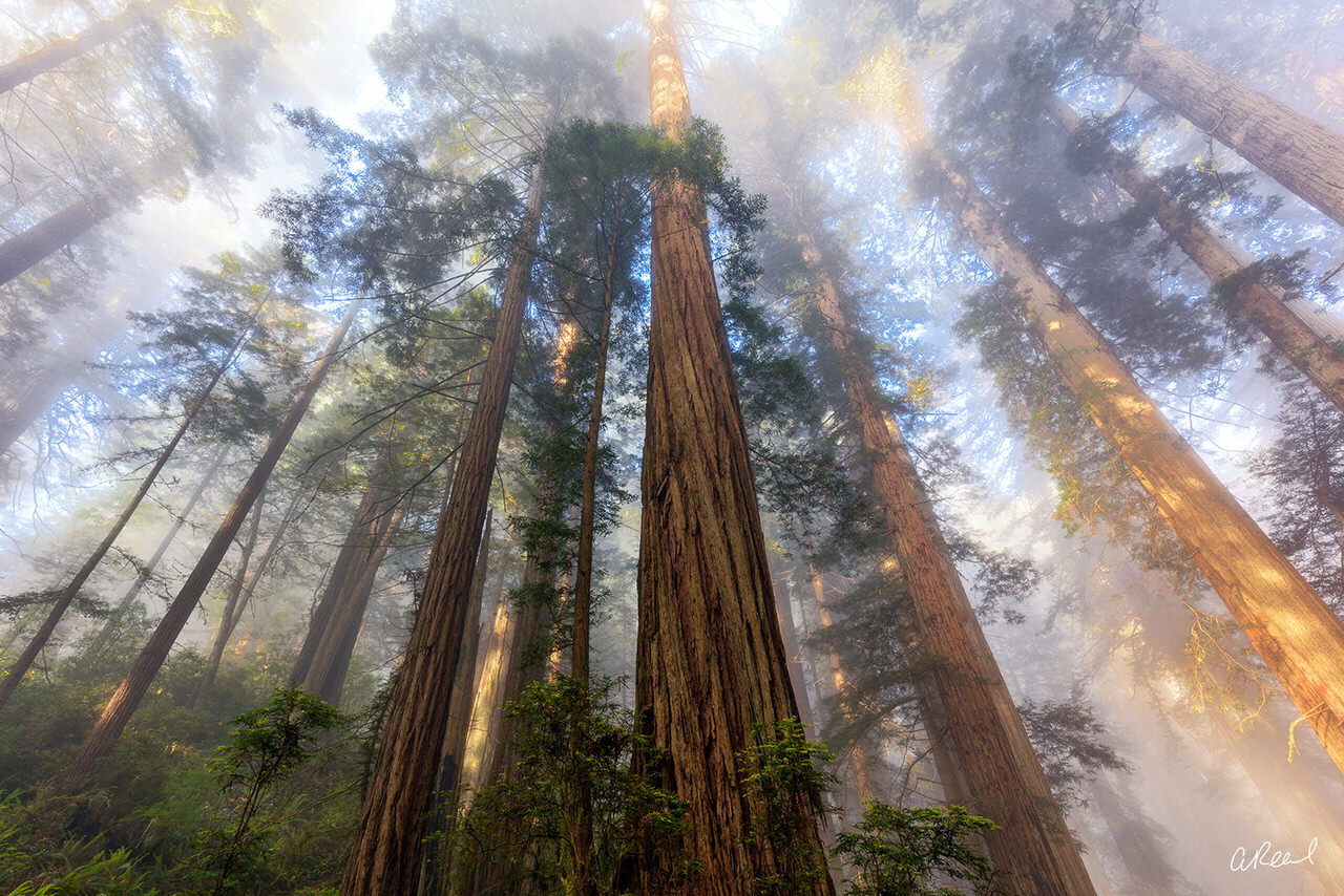 A vertical look at a tall forest of redwood trees on a foggy morning.