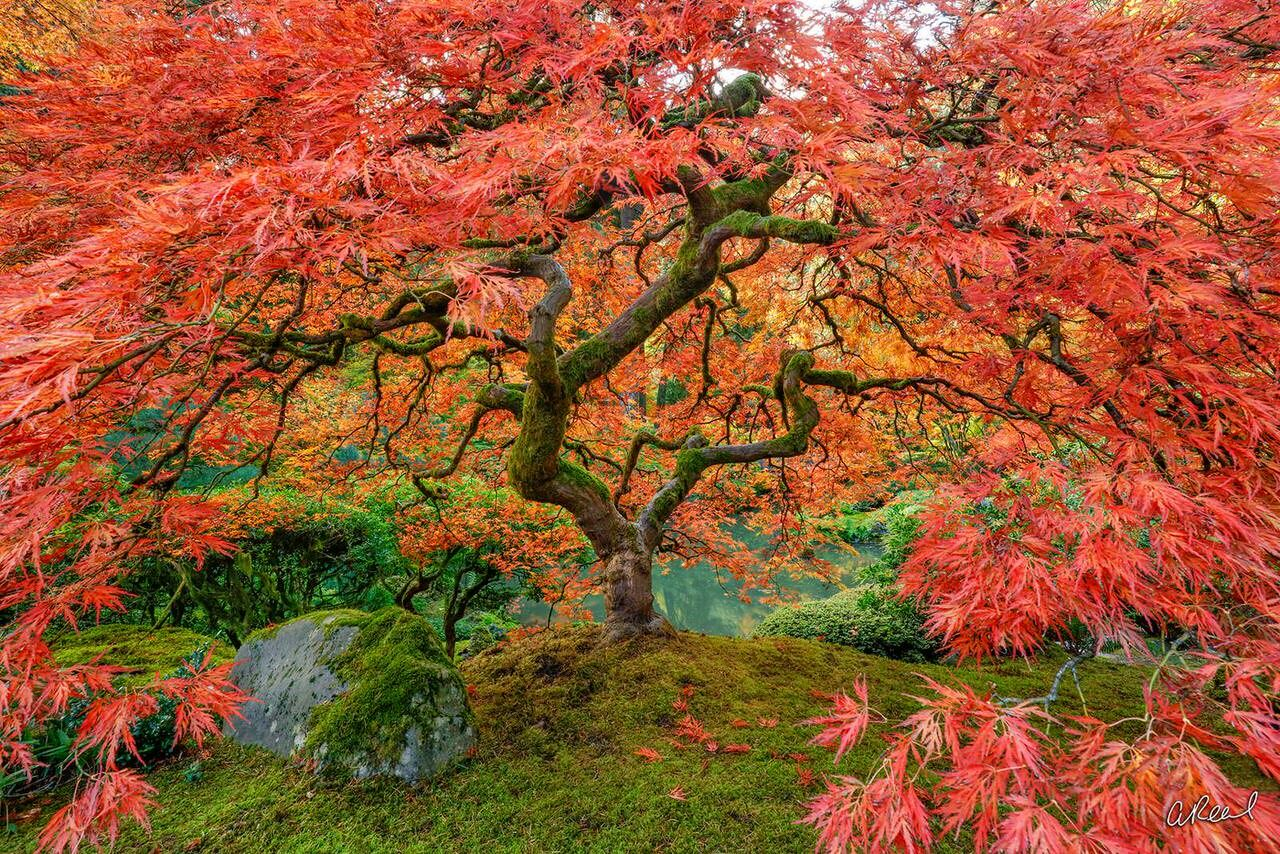 A photograph of a Japanese Maple tree with expansive branches and red leaves during fall.
