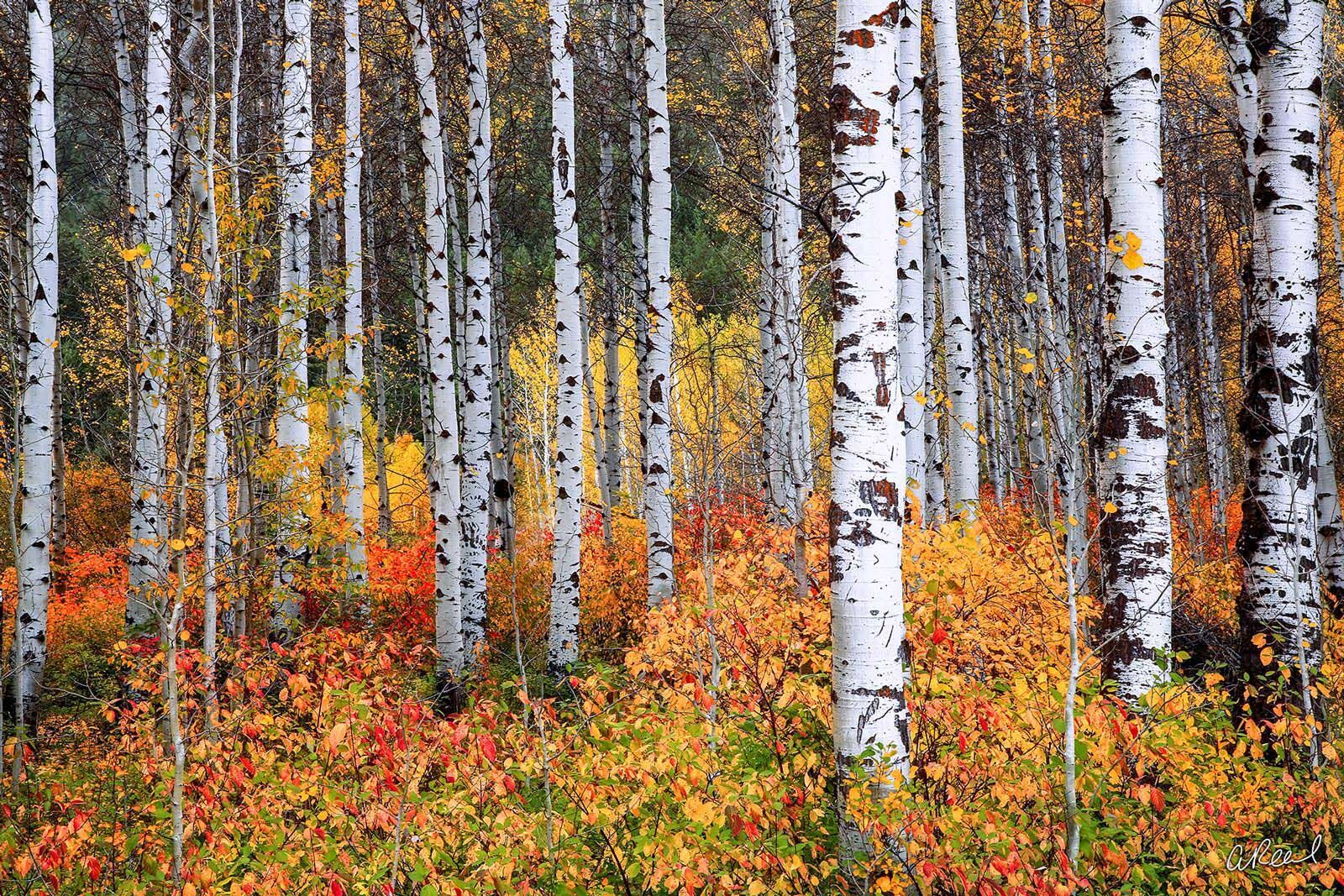 A photograph of a forest of aspen trees with red and orange bushes at their base.