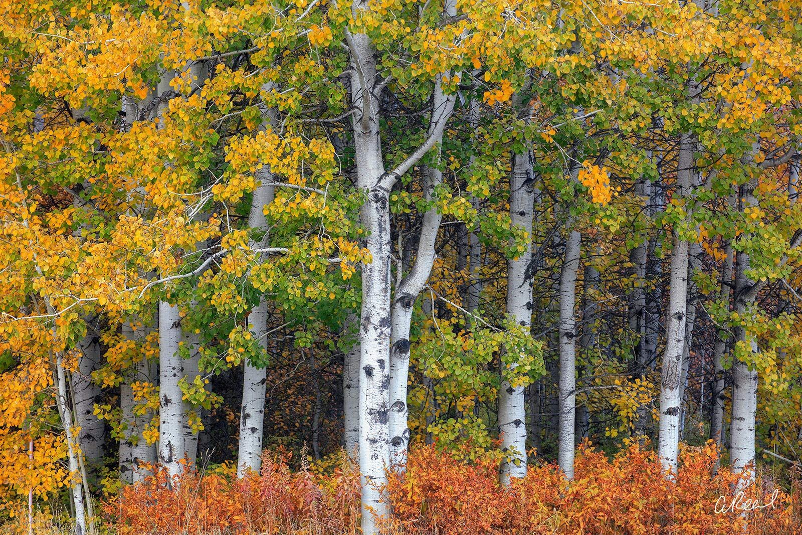 A photograph of five short aspen trees with yellow and green leaves.
