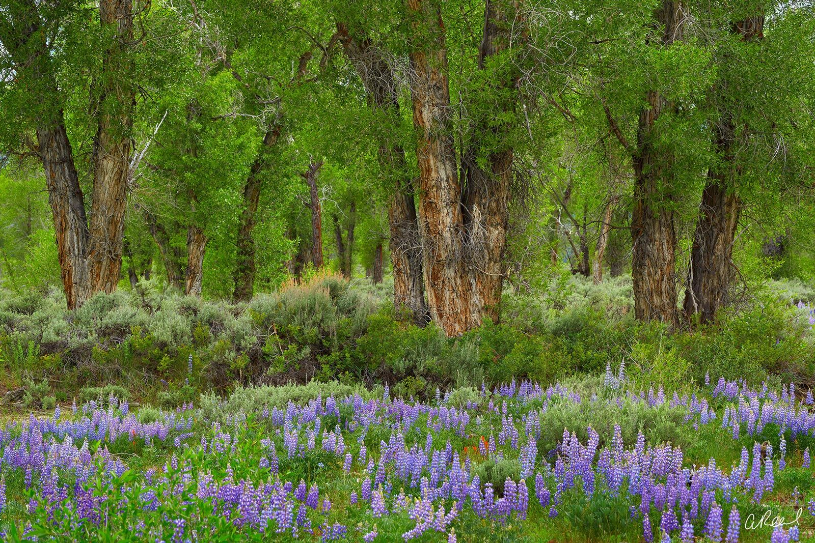 A field of trees with green leaves and a carpet of purple and blue flowers in the spring.