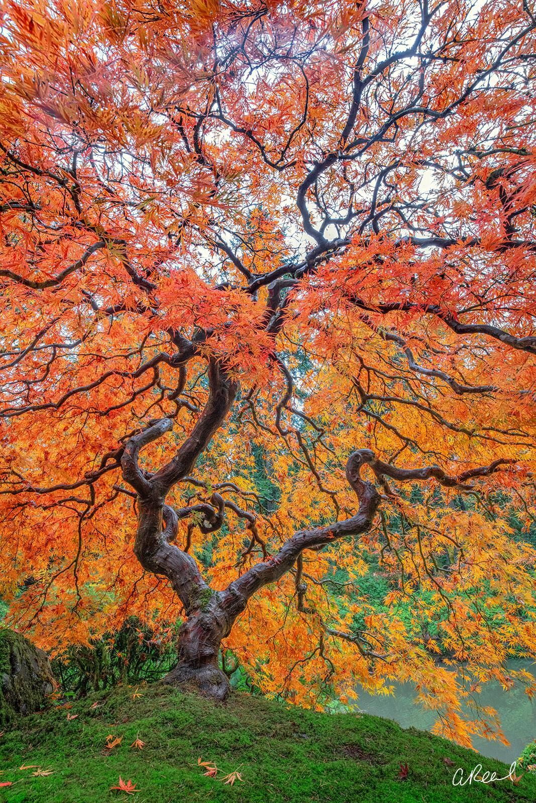 A vertical photograph of a red maple tree with twisting branches and a mossy trunk.