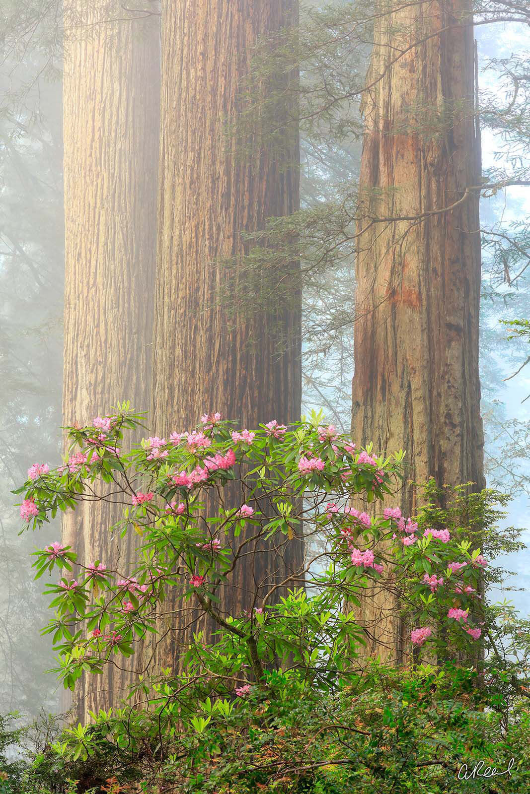 A vertical photograph of redwood trees in the fog with hydrangea flowers growing in front of them.