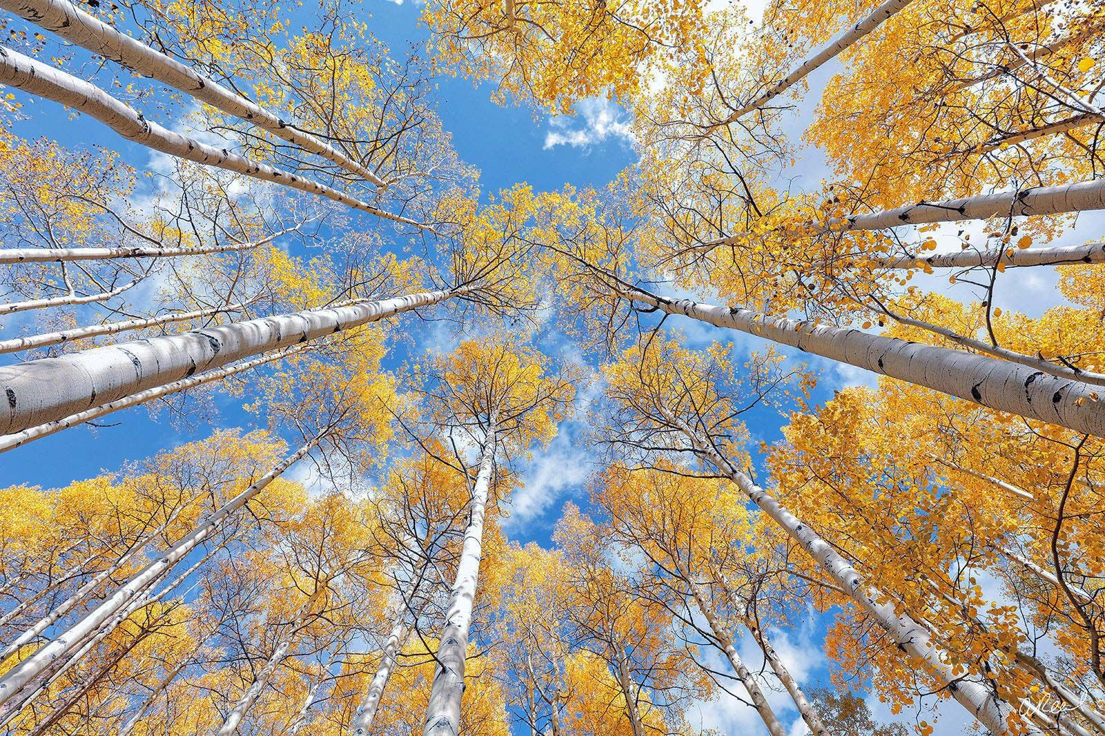 A look up at a canopy of aspen trees against a blue sky with yellow autumn leaves.