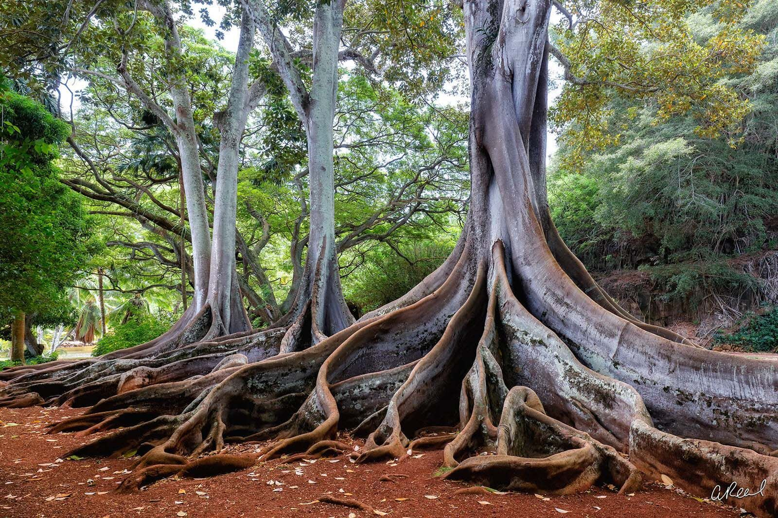 A photograph of a tree in Hawaii with large visible root systems above grown and green leaves.